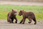 wildlife;Bear;Grizzly-Bear;Brown-Bear;Coastal-Bear;Ursus-Arctos;Cubs;Fighting;Katmai-NP;Hallo-Bay
