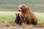 wildlife;Bear;Grizzly-Bear;Brown-Bear;Coastal-Bear;Ursus-Arctos;Cubs;Katmai-NP;Hallo-Bay