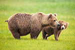wildlife;Bear;Grizzly-Bear;Brown-Bear;Coastal-Bear;Ursus-Arctos;Cub;Katmai-NP;Hallo-Bay;D3X