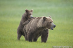 wildlife;Bear;Grizzly-Bear;Brown-Bear;Coastal-Bear;Ursus-Arctos;Cub;Fighting;Katmai-NP;Hallo-Bay