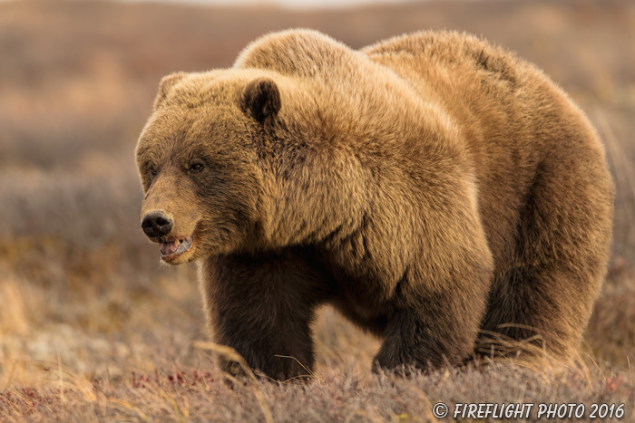 wildlife;Bear;Grizzly;Ursus arctos horribilis;Denali;Alaska;AK;D5;2016