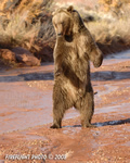 wildlife;montana;bear;bears;grizzly-bear;grizzly-bears;grizzly;Ursus-arctos-horribilis;stream;red-rock;standing