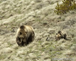 wildlife;bear;grizzly-bear;grizzly;Ursus-arctos-horribilis;Cub;Yellowstone-NP;Wyoming