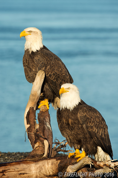 wildlife;Eagle;Raptor;Bald Eagle;Haliaeetus leucocephalus;Homer;Alaska;AK;D4s;2016