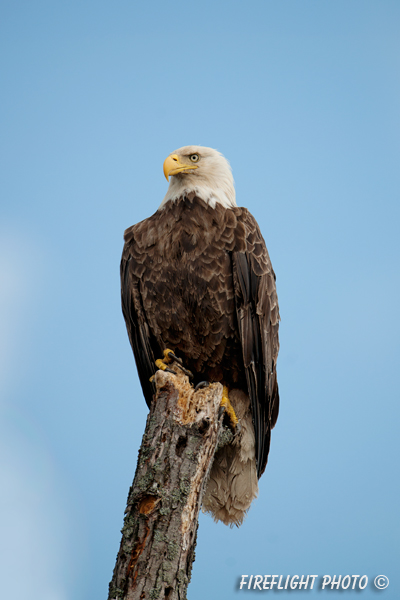 wildlife;bald eagle;Haliaeetus leucocephalus;eagle;raptor;bird of prey;Lake Umbagog;NH