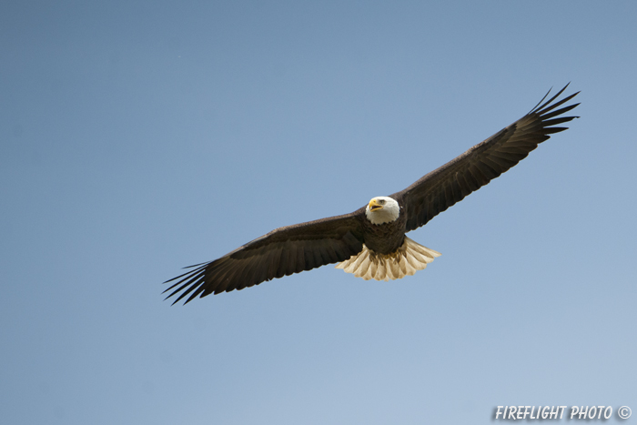 wildlife;bald eagle;Haliaeetus leucocephalus;eagle;raptor;bird of prey;Conneticut River;NH;D3X