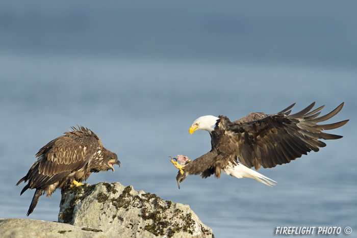 wildlife;bald eagle;Haliaeetus leucocephalus;eagle;raptor;bird of prey;eaglets;chicks;Lakes Region;NH;D4