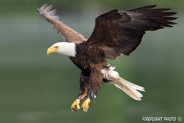 wildlife;bald eagle;Haliaeetus leucocephalus;eagle;raptor;bird of prey;Lakes Region;NH;D4
