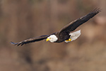 wildlife;Eagle;Raptor;Bald-Eagle;Haliaeetus-leucocephalus;Homer;Alaska;AK;D4s;2016