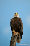 wildlife;bald-eagle;Haliaeetus-leucocephalus;eagle;raptor;bird-of-prey;Lake-Umbagog;NH