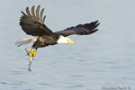 wildlife;bald-eagle;Haliaeetus-leucocephalus;eagle;raptor;bird-of-prey;fish;Lakes-Region;NH;D4