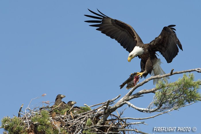 wildlife;bald eagle;Haliaeetus leucocephalus;eagle;raptor;bird of prey;eaglets;chicks;fish;nest;Lakes Region;NH;D4