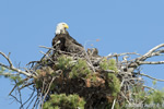 wildlife;bald-eagle;Haliaeetus-leucocephalus;eagle;raptor;bird-of-prey;eaglets;chicks;Lakes-Region;NH;D4