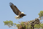 wildlife;bald-eagle;Haliaeetus-leucocephalus;eagle;raptor;bird-of-prey;fish;nest;Lakes-Region;NH;D4