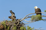 wildlife;bald-eagle;Haliaeetus-leucocephalus;eagle;raptor;bird-of-prey;eaglet;chick;nest;Lakes-Region;NH;D4
