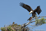 wildlife;bald-eagle;Haliaeetus-leucocephalus;eagle;raptor;bird-of-prey;eaglets;chicks;fish;nest;Lakes-Region;NH;D4