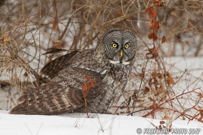 wildlife;raptor;owl;gray;grey;Strix nebulosa;snow;vole;New Hampshire;NH;D5;2017