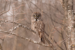 wildlife;raptor;owl;gray;grey;Strix-nebulosa;grass;snow;Canada;D5;2017