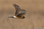 wildlife;northern-harrier;Circus-cyaneus;hawk;raptor;bird-of-prey;marsh;Hampton-beach;NH;D4