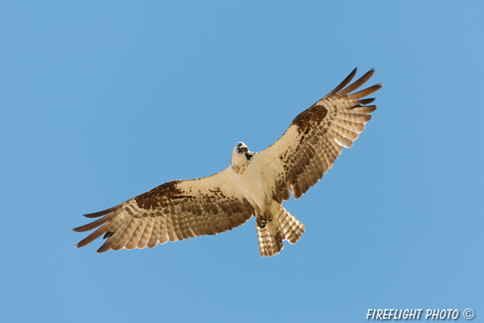 wildlife;birds of prey;raptor;osprey;Pandion haliaetus;flight;Errol;NH