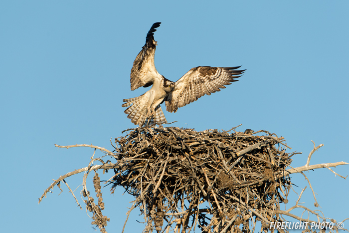 wildlife;birds of prey;raptor;osprey;Pandion haliaetus;nest;WY;Yellowstone