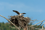 wildlife;birds-of-prey;raptor;osprey;Pandion-haliaetus;nest;chick;Errol;NH;D2X