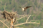 wildlife;birds-of-prey;raptor;osprey;Pandion-haliaetus;nest;Errol;NH;D2X