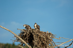 wildlife;birds-of-prey;raptor;osprey;Pandion-haliaetus;chick;nest;Errol;NH;D2X
