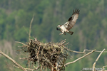 wildlife;birds-of-prey;raptor;osprey;Pandion-haliaetus;nest;fish;Errol;NH;D2X