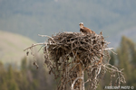 wildlife;birds-of-prey;raptor;osprey;Pandion-haliaetus;nest;WY;Yellowstone