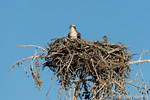 wildlife;birds-of-prey;raptor;osprey;chick;Pandion-haliaetus;nest;WY;Yellowstone