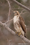 wildlife;Redtail-Hawk;Buteo-jamaicensis;Hawk;raptor;bird-of-prey;Rye;NH;tree