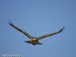 wildlife;Redtail-Hawk;Buteo-jamaicensis;Hawk;raptor;bird-of-prey;Newington;NH