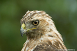 wildlife;Redtail-Hawk;Buteo-jamaicensis;Hawk;raptor;bird-of-prey;Newington;NH;head-shot