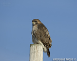 wildlife;Redtail-Hawk;Buteo-jamaicensis;Hawk;raptor;bird-of-prey;Newington;NH;pole