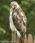wildlife;Redtail-Hawk;Buteo-jamaicensis;Hawk;raptor;bird-of-prey;Newington;NH;fence
