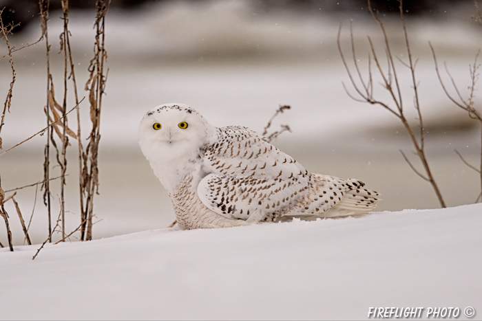 wildlife;snowy owl;bubo scandiacus;owl;raptor;bird of prey;marsh;Salisbury;MA;D4