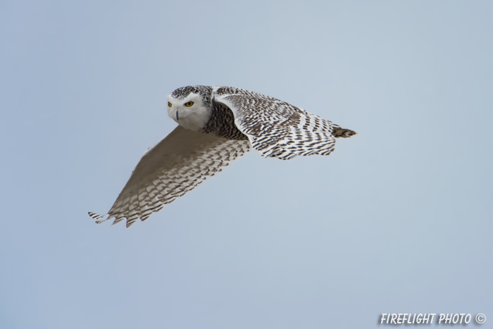 wildlife;snowy owl;bubo scandiacus;owl;raptor;bird of prey;flight;Hampton Beach;NH;D4