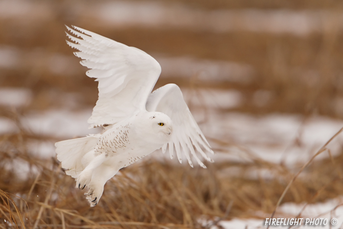 wildlife;snowy owl;bubo scandiacus;owl;raptor;bird of prey;marsh;Seabrook;NH;D800