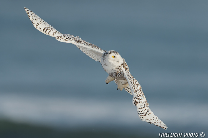 wildlife;snowy owl;bubo scandiacus;owl;raptor;bird of prey;ocean;Rye Harbor;NH;D4