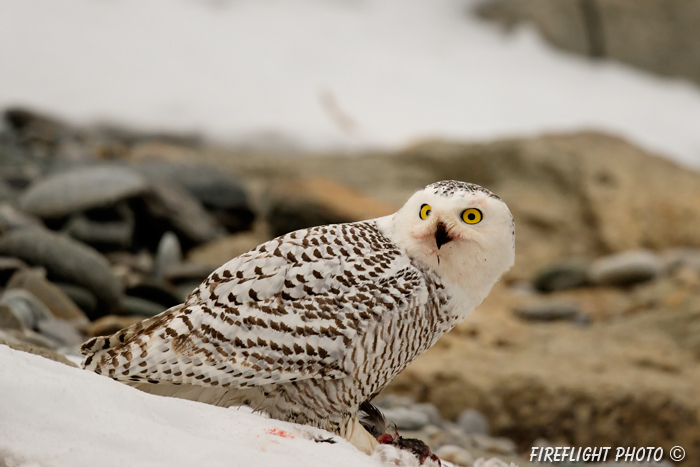 wildlife;snowy owl;bubo scandiacus;owl;raptor;bird of prey;snow;Rye Harbor;NH;800mm;D4