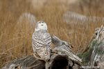 wildlife;snowy-owl;bubo-scandiacus;owl;raptor;bird-of-prey;stump;Plum-Island;MA;D4