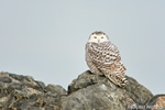 wildlife;snowy-owl;bubo-scandiacus;owl;raptor;bird-of-prey;rocks;Plum-Island;MA;D4