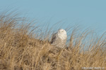 wildlife;snowy-owl;bubo-scandiacus;owl;raptor;bird-of-prey;marsh;Hampton-Beach;NH;D800