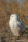 wildlife;snowy-owl;bubo-scandiacus;owl;raptor;bird-of-prey;beach;Plum-Island;MA;D800