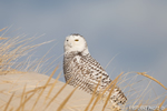 wildlife;snowy-owl;bubo-scandiacus;owl;raptor;bird-of-prey;beach;Crane-Beach;MA;D800
