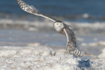wildlife;snowy-owl;bubo-scandiacus;owl;raptor;bird-of-prey;beach;ice;Crane-Beach;MA;D4