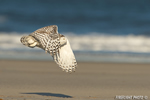 wildlife;snowy-owl;bubo-scandiacus;owl;raptor;bird-of-prey;beach;surf;Crane-Beach;MA;D4