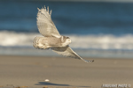 wildlife;snowy-owl;bubo-scandiacus;owl;raptor;bird-of-prey;beach;flight;Crane-Beach;MA;D4
