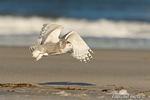 wildlife;snowy-owl;bubo-scandiacus;owl;raptor;bird-of-prey;beach;Crane-Beach;MA;D4